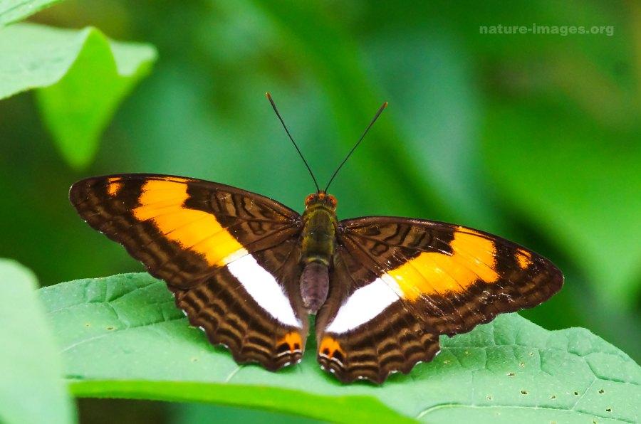 Adelpha Boeotia Butterfly