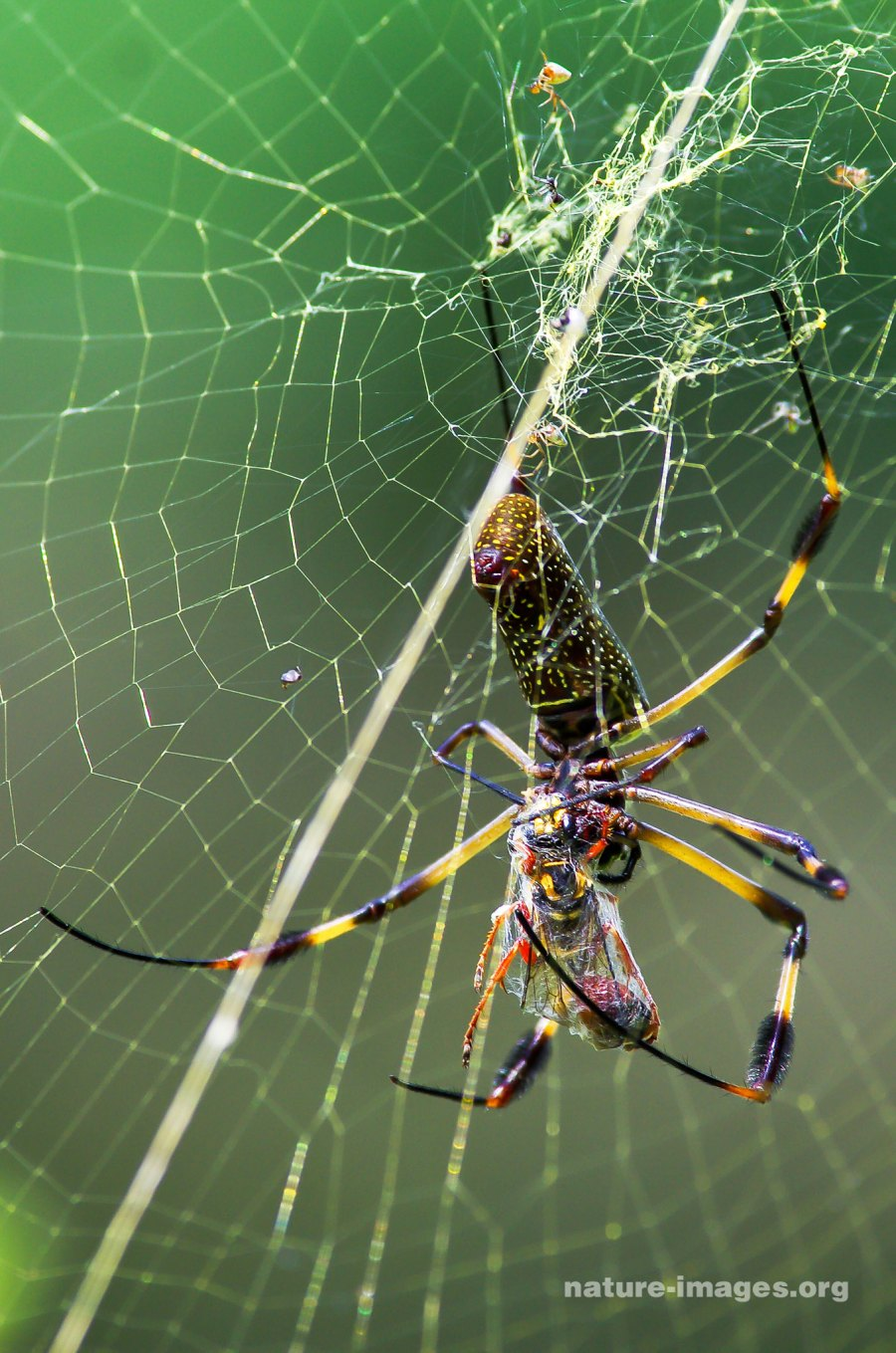 Golden silk orb-weaver with prey