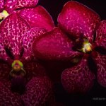 Dark red orchids
