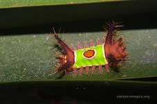 Saddleback caterpillar (Acharia stimulea)