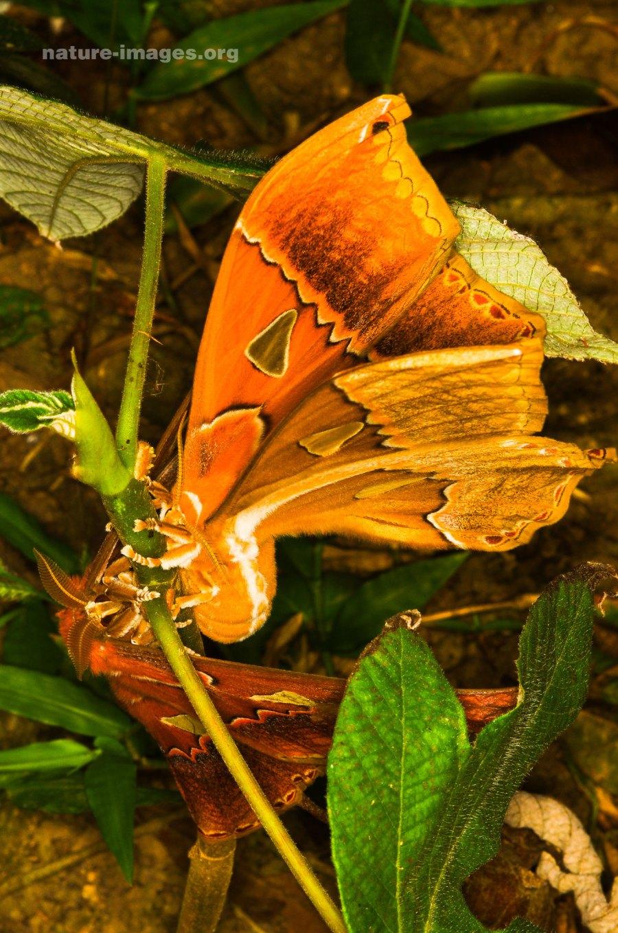 Orizaba Silkmoth (Rothschildia orizaba)