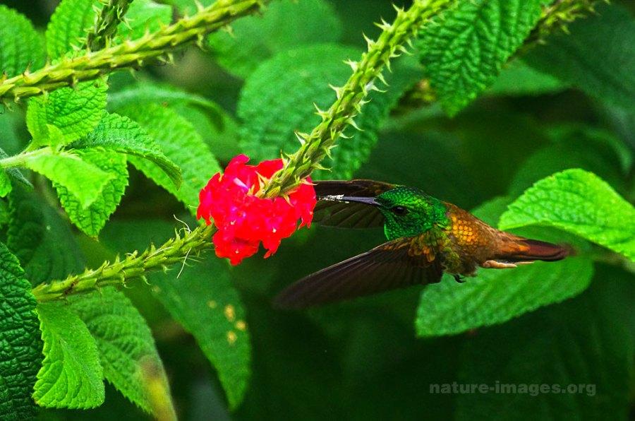Snowy Bellied Hummingbird