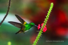 Snowy Bellied Hummingbird