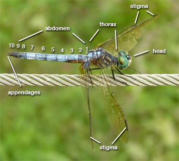 What Dragonfly Is That Nature Watch - Fly Anatomy Head