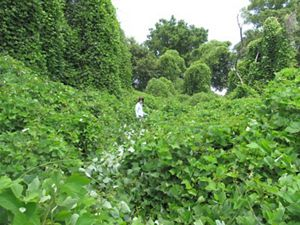 Asian Plants For Sale Journey With Nature Kudzu