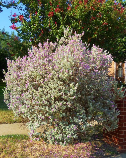 """19 Year Old """"Old Variety"""" Texas Sage"""