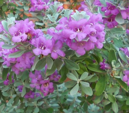Bee Enjoying Texas Sage in Bloom