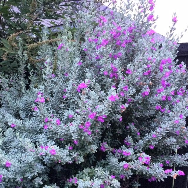 Texas Sage Abloom Just Prior to a Rain Shower