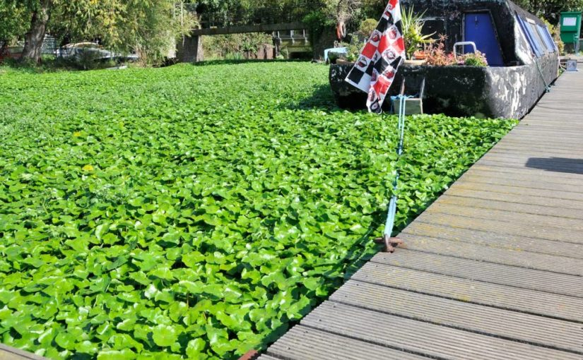 Floating Pennywort (c) GB Non-native Species Secretariat