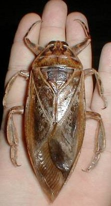 Giant water bug © Kevin via fishpondinfo.com