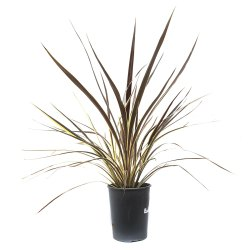 Small Of Cordyline Electric Pink
