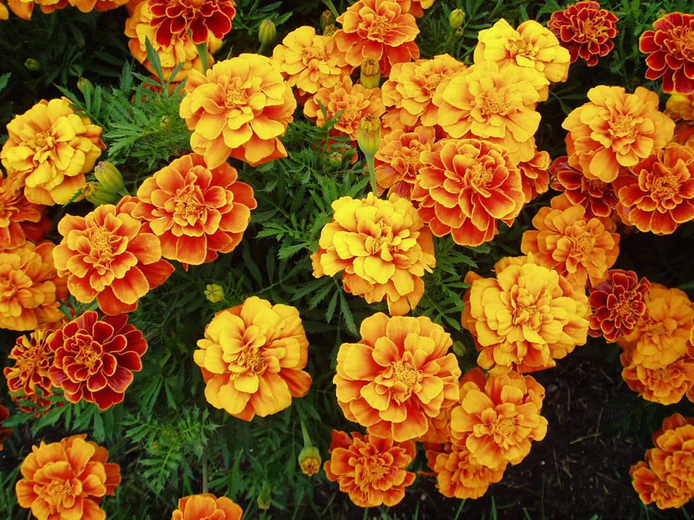 Aas Girl Wallpaper Pulchritude Marigold Nature S Pulchritude