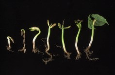 work-websites-nault-research-ipm-major snap bean pests-SEEDLING_SCMINJURY_2003_1
