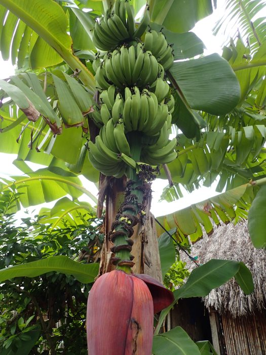 Banana trees, which Jim stalked for weeks.