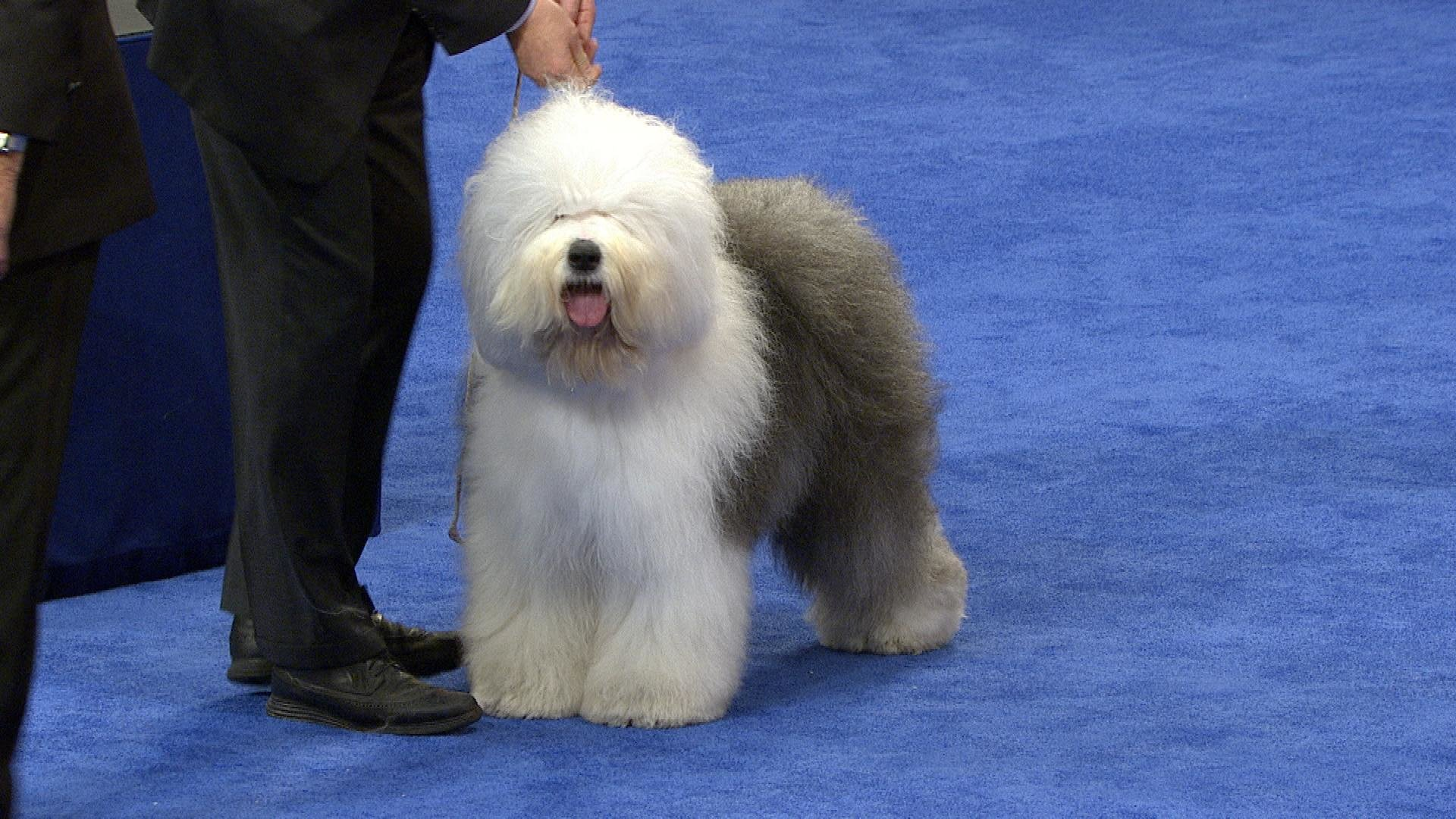 Are Old English Old English Sheepdog 2018 National Dog Show Herding Group Nbc
