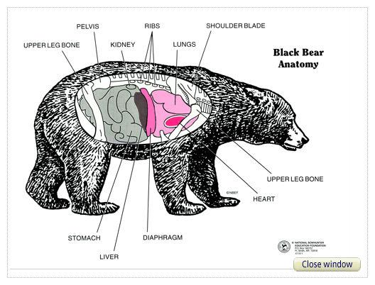 diagram of a black bear