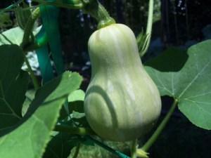 Butternut Squash on the Vine