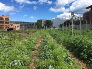 Cabbage and Tomatoes at the City Farm
