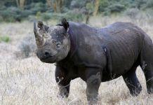 Poachers targeting rhino calves in Zimbabwe