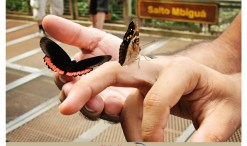 Beautiful and colourful butterflies at the Iguazu Falls on the Brazilian side.