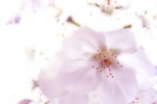薄く色づく桜