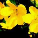 山吹(ヤマブキ)の写真素材