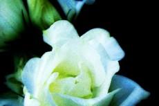 白い薔薇の写真素材