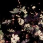 暗闇に咲く幻想的なコスモス(3パターン)