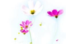 白とピンクのコスモス