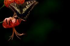 クルマユリに留まる蝶の写真素材
