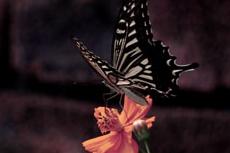キバナコスモスとアゲハ蝶の写真素材