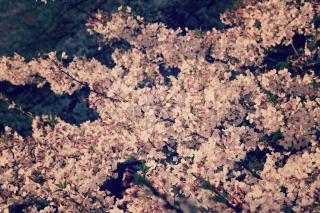 【高解像度】満開の桜(2パターン)