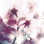 【高解像度】光に透ける桜の花びら(3パターン)