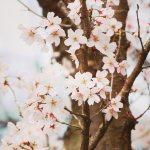 【高解像度】桜の樹と花(3パターン)