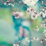 【高解像度】桜が縁取る鮮やかな風景(3パターン)