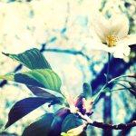 【高解像度】滲む木々と一輪の桜(3パターン)