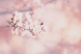 【高解像度】淡い光の中に咲く桜(3パターン)