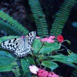 【高解像度】熱帯植物とオオゴマダラ(3パターン)