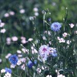 【高解像度】矢車菊(ヤグルマギク)が咲く花畑(3パターン)