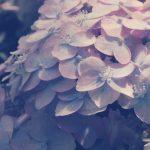 【高解像度】薄桃色の紫陽花(アジサイ)(3パターン)