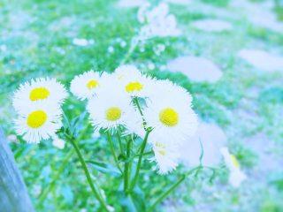 【高解像度】路傍に咲くハルジオン