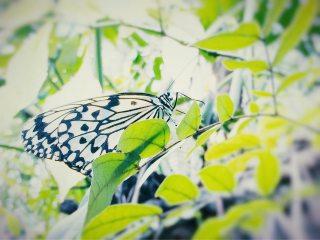 【高解像度】緑の葉とオオゴマダラ