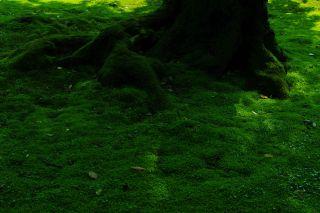 【高解像度】木の根を覆う苔(3パターン)