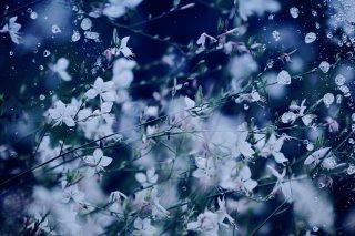 【高解像度】白いガウラと水しぶき(3パターン)