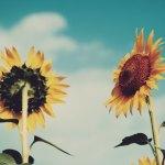 【高解像度】空に向かって伸びる向日葵(ヒマワリ)(3パターン)