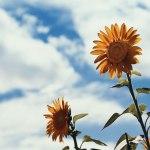 【高解像度】空に咲く向日葵(ヒマワリ)(3パターン)