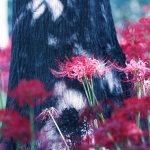 【高解像度】木陰に咲く彼岸花(3パターン)