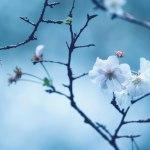 【高解像度】寂しげな十月桜(ジュウガツザクラ)(3パターン)