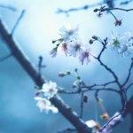 【高解像度】ぼんやりした光と十月桜(ジュウガツザクラ)(3パターン)