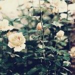 【高解像度】色褪せた雰囲気の薔薇(バラ)(3パターン)